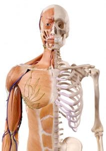Medizinische Grafik: Mensch halb Skelett, halb Muskeln, Sehnen